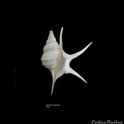 Aporrhaïs pesgallinae 34mm