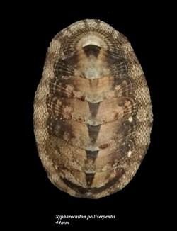 Sypharochiton pelliserpentis 44mm