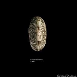Chiton densiliratus 47mm