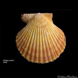 Chlamys nobilis 85mm