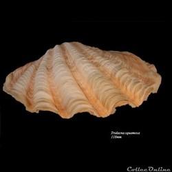 Tridacna squamosa 118mm