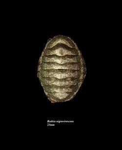 Radsia nigrovirescens 23mm