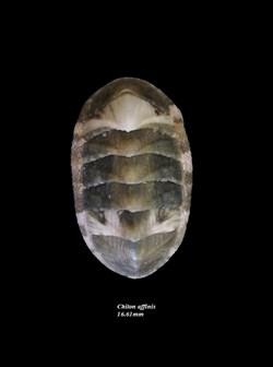 Chiton affinis 16.61mm
