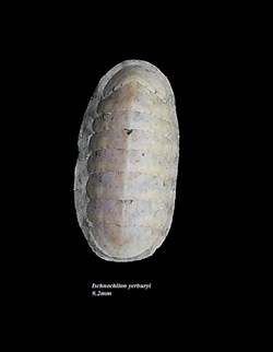Ischnochiton yerburyi 9.2mm