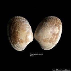 Venerupis decussatus 35mm