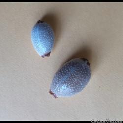 Cypraea Staphylaea staphylaea LAEVIGATA