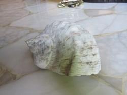 Turbo marmoratus