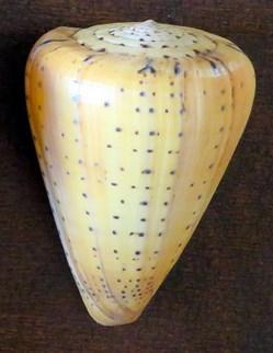 Conus betulinus