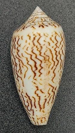 Conus textile scriptus