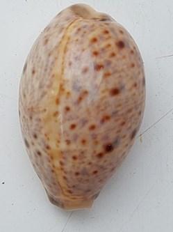 Lyncina lynx (porcelaine Lynx)