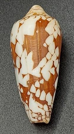 Conus episcopus