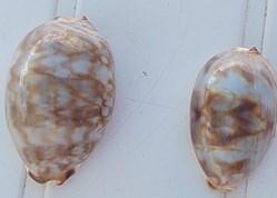 Cypraea juvénile (Mauricia)