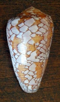 Conus pennaceus praelatus