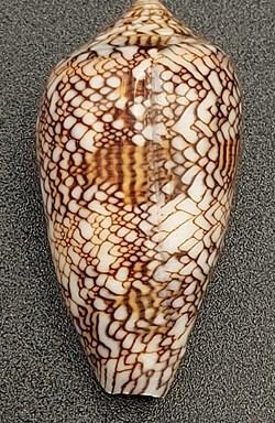 Conus textile (archiepiscopus)
