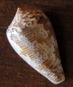 Conus striolatus