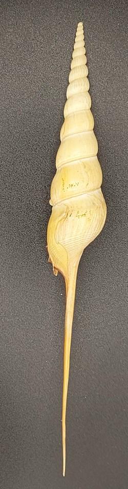 Tibia fusus