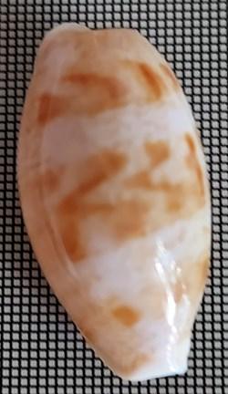 Talostolida teres alveolus (variété)