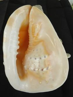 Cassis cornuta