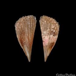 Pinnidae - Atrina seminuda (Lamarck, 1819)