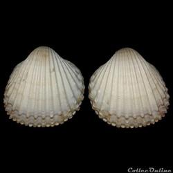 Cardiidae - Acanthocardia tuberculata, Linné, 1758