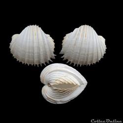 Cardiidae - Cardium costatum, Linné, 1758