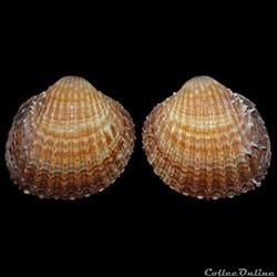 Cardiidae - Acanthocardia aculeata (Linn...