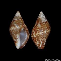 Buccinidae - Pisania striata (Gmelin, 17...