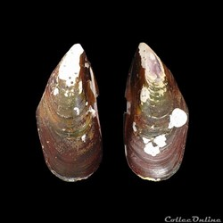 Mytilidae - Perna perna (Linné, 1758)