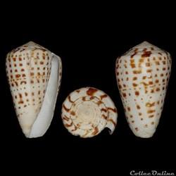 Conidae - Kalloconus (Kalloconus) byssin...