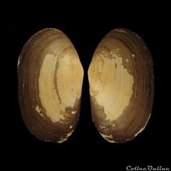 Mactridae - Lutraria lutraria (Linné, 1758)