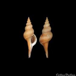 Buccinidae - Afer pseudofusinus (Frausse...