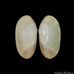 Mactridae - Lutraria angustior, Linné, 1758