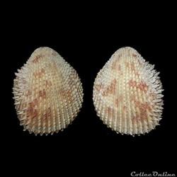 Cardiidae - Trachycardium isocardia, Linné, 1758