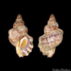 Bursidae - Bursa scrobilator (Linné, 175...