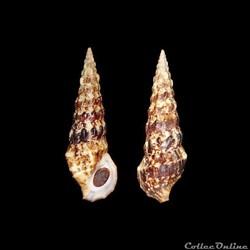 Cerithiidae - Cerithium alucastrum (Broc...
