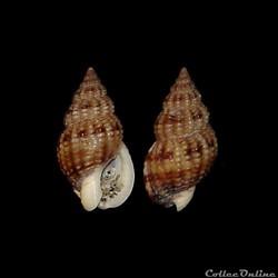 Nassariidae - Tritia incrassata, Ström, 1768