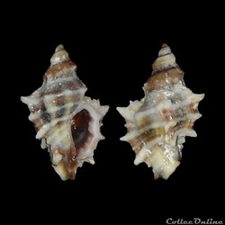 Muricidae - Ocinebrina hispidula, Pallary, 1904