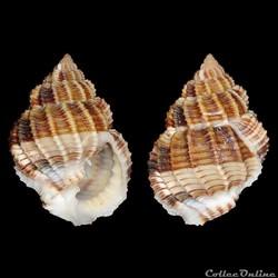 Cancellariidae - Bivetiella similis (Sow...