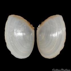 Tellinidae - Macomangulus tenuis (da Costa, 1778)