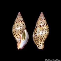 Buccinidae - Pisania pusio (Linné, 1758)