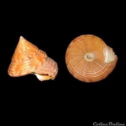 Calliostomatidae - Calliostoma zizyphinu...