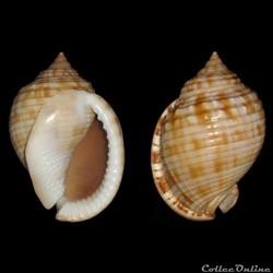 Cassidae - Semicassis granulata (Born, 1...