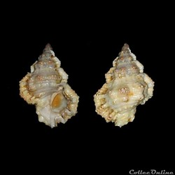 Bursidae - Bursa rhodostoma thomae (d'Or...