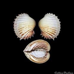 Cardiidae - Procardium indicum, Lamarck, 1819