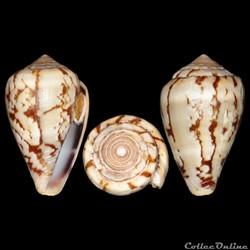 Conidae - Lautoconus (Varioconus) xicoi (Röckel, 1987)