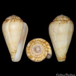 Conidae - Lautoconus (Varioconus) micropunctatus (Rolán & Röckel, 2000)