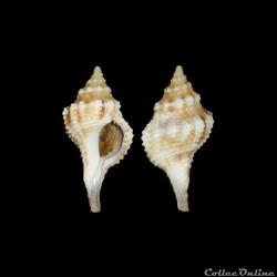Buccinidae - Afer afer (Gmelin, 1791)