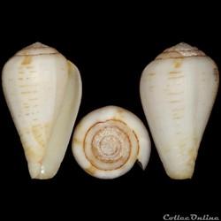 Conidae - Lautoconus (Varioconus) fuscolineatus (Sowerby III, 1905)