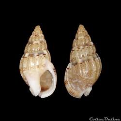 Nassariidae - Nassarius cuvierii, Payraudeau, 1826