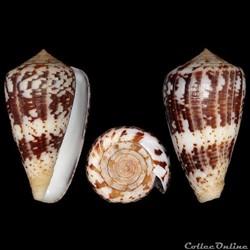 Conidae - Chelyconus ermineus inquinatus...